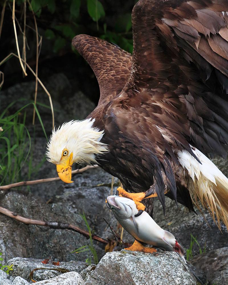 Bald Eagle The Audubon Birds Climate Change Report