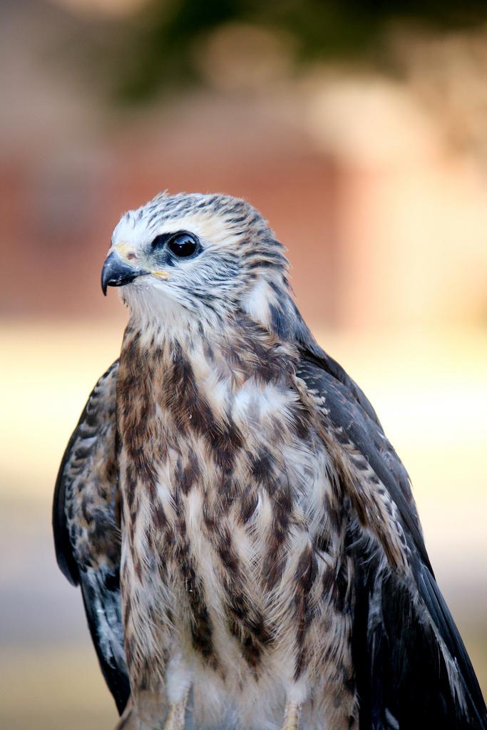 Mississippi Kite The Audubon Birds Amp Climate Change Report