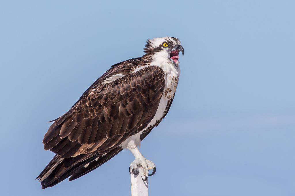 Osprey The Audubon Birds Amp Climate Change Report