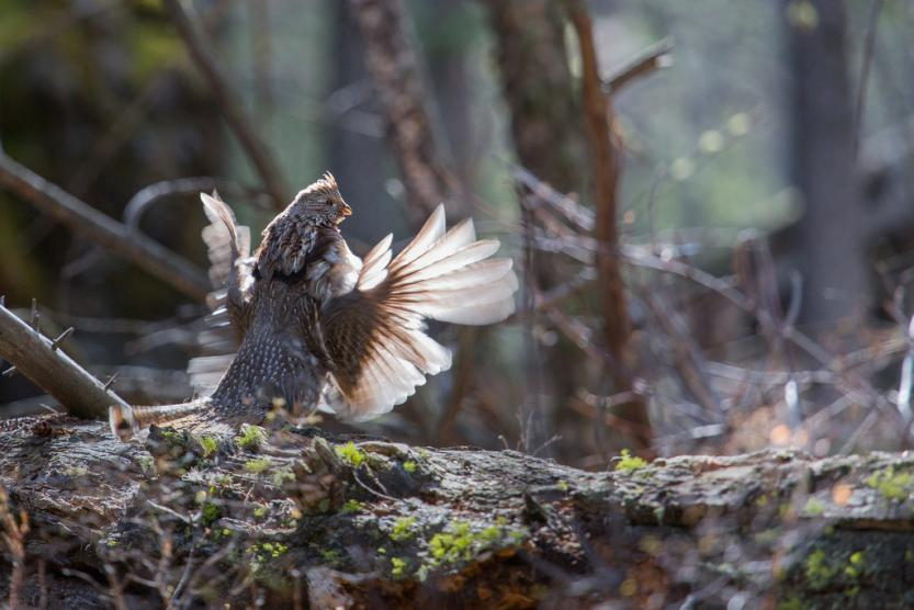 Ruffed Grouse 5
