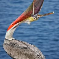 Brown Pelican 6