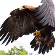 Golden Eagle 4