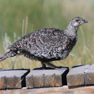 Greater Sage-Grouse 1