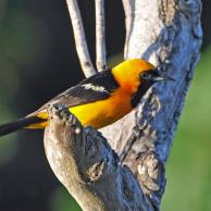 Hooded Oriole 3