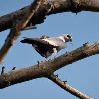 Mississippi Kite 1