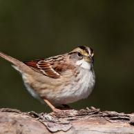 White Sparrow 3