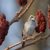 White-throated Sparrow 5