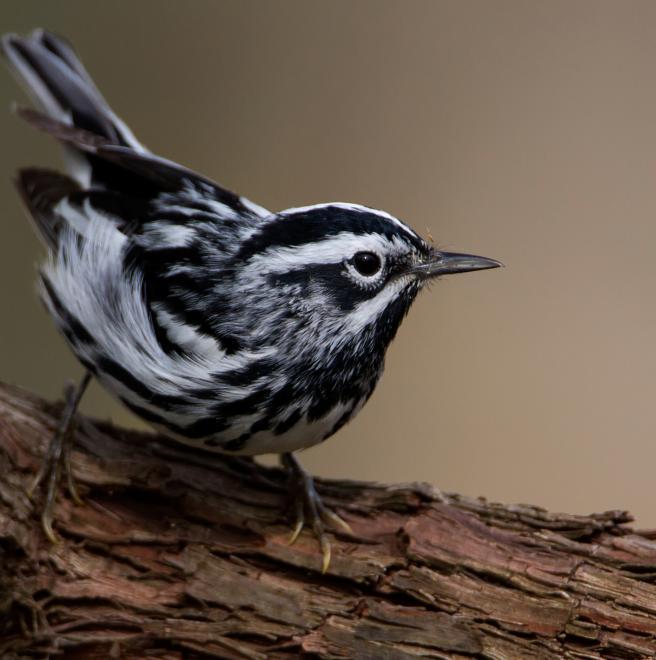 Black and white bird species