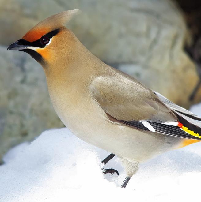 bird Bohemian waxwing