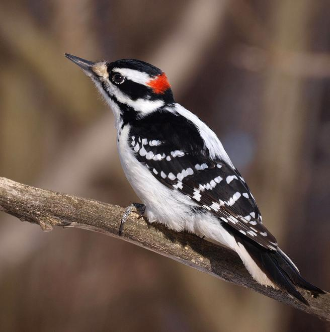 Rather photos of hairy woodpecker that