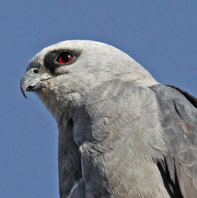 Mississippi Kite | The Audubon Birds & Climate Change Report