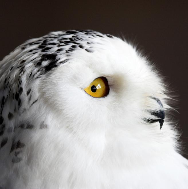 Snowy Owl The Audubon Birds Climate Change Report