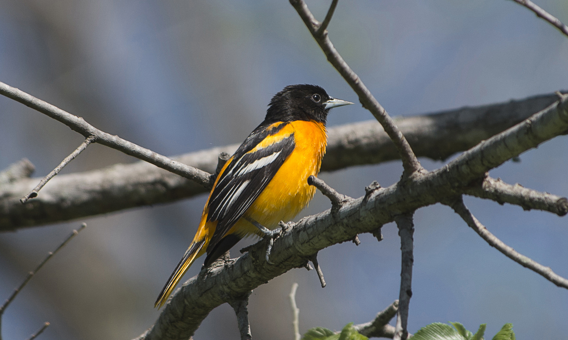 10 States Could Lose State Birds