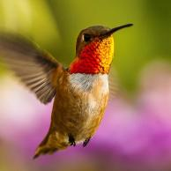 Allen's Hummingbird 3