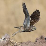 Burrowing Owl 6