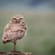 Burrowing Owl 2