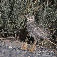 Greater Sage-Grouse 4