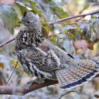 Ruffed Grouse 3