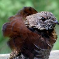 Ruffed Grouse 4