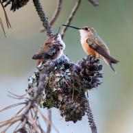 Rufous Hummingbird 2