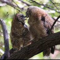 Spotted Owl 2