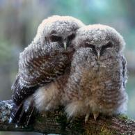 Spotted Owl 4