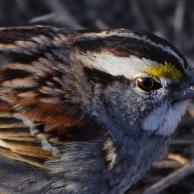 White Sparrow 1
