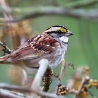 White Sparrow 2